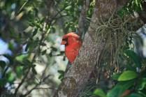 Cardinal in Green Tree
