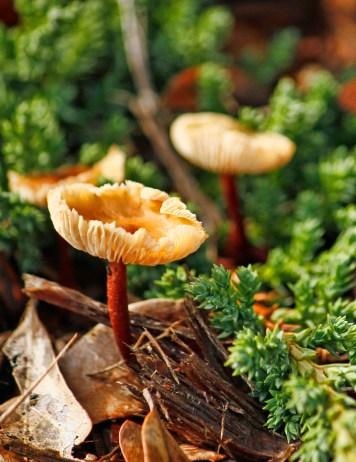 Orange Brown Mushroom 5