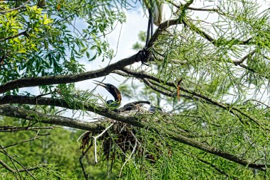 Nest made of large sticks and branches.