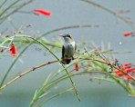 Hummingbird Perched