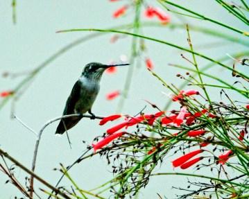 Hummingbird Perched2