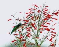 Hummingbird Sipping Firecracker Bush 4