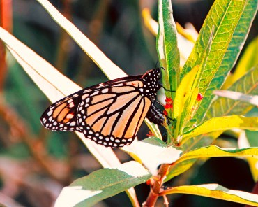 Fall Monarch 2