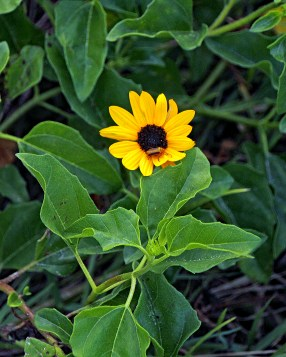 beach-sunflower