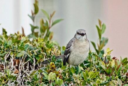 mocking-bird-on-bush-2