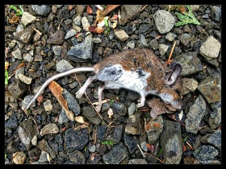 A deer mouse was the only casualty