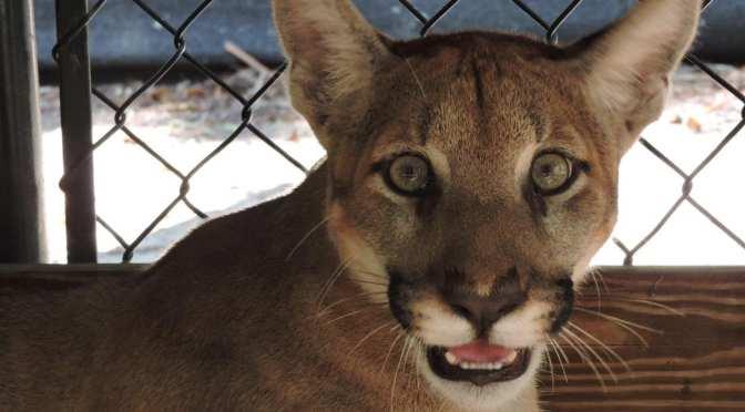 Wildlife Park gets a 2nd Florida Panther Kitten
