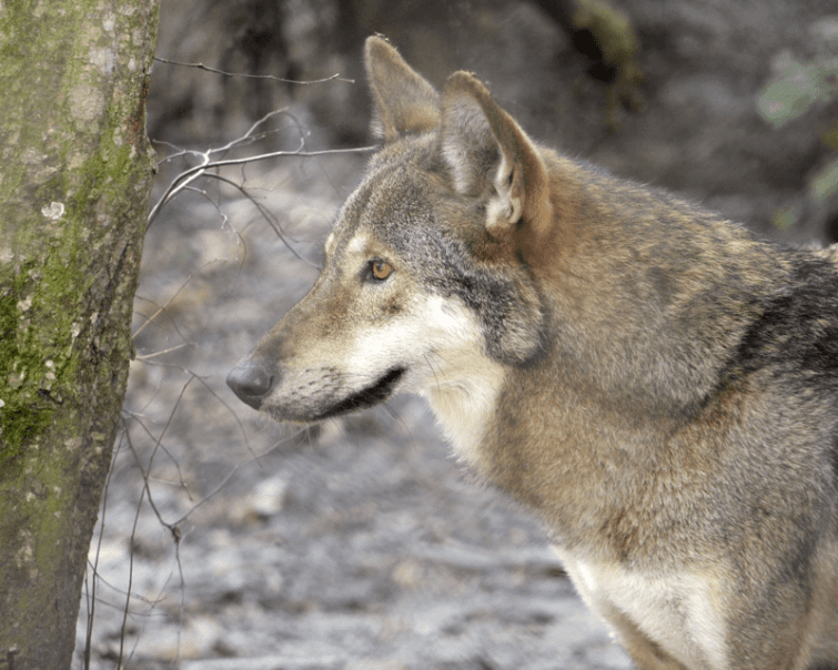 Rose, the Park's female Red wolf is strikingly similar in looks to a German Shepherd. Do you agree?