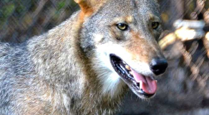 Two Programs feature Red Wolves this week at the Wildlife Park