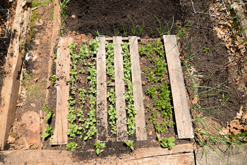 Radishes and spinach