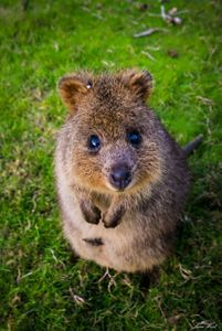 Meet the Quokka