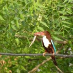 White Throated Kingfisher (Halcyon smyrnensis) complete detail