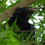 State bird of Jharkhand (Asian koel) complete detail – updated