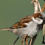 State bird of Delhi (House sparrow) – complete detail – updated