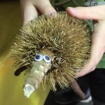 kids-nature-craft-echidna-banksia