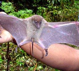 Fiji Blossom bat (Notopteris macdonaldi)