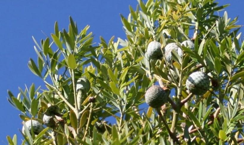 Pacific kauri (Agathis macrophylla)