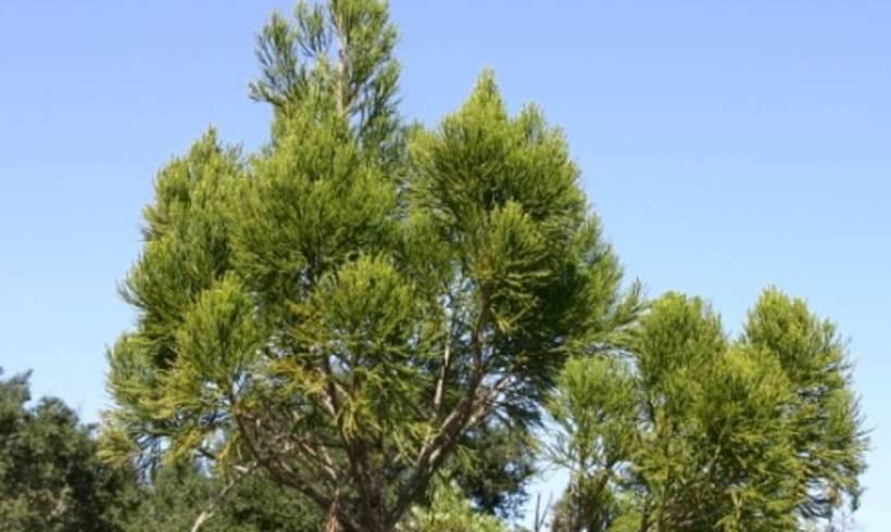 Yaka (Dacrydium nausoriense)