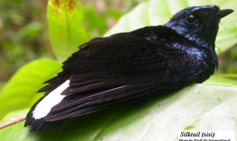Silktail (Lamprolia victoriae)