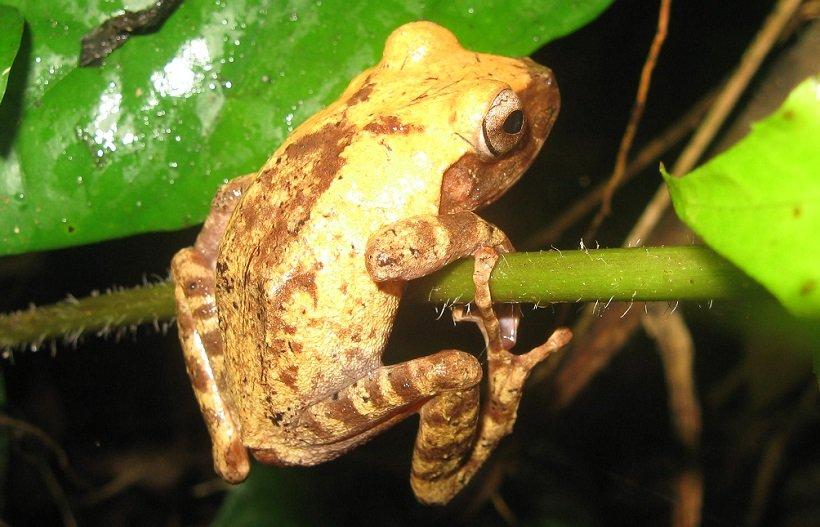 Fiji tree frog (Platymantis vitiensis)