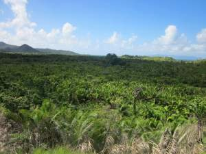 The rehabilitated fields of the critically endangered Sago palms of Culanuku Village in Serua