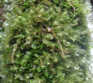 Mosses of Fiji's Montane Cloud Forests play an important role in the hydrological cycle. Maintenance of Permanent Forest Estates enable them to continue this important role.