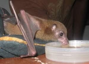 Fiji Blossom bat, Viti Levu