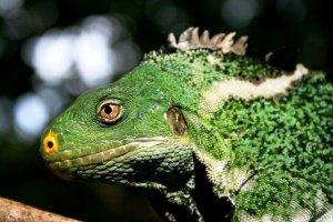 Fiji Crested iguana. Photograph: Baravi Thaman