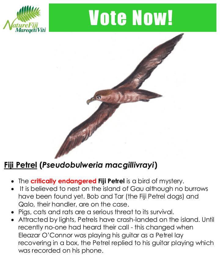 Fiji Petrel (Pseudobulweria macgillivrayi)