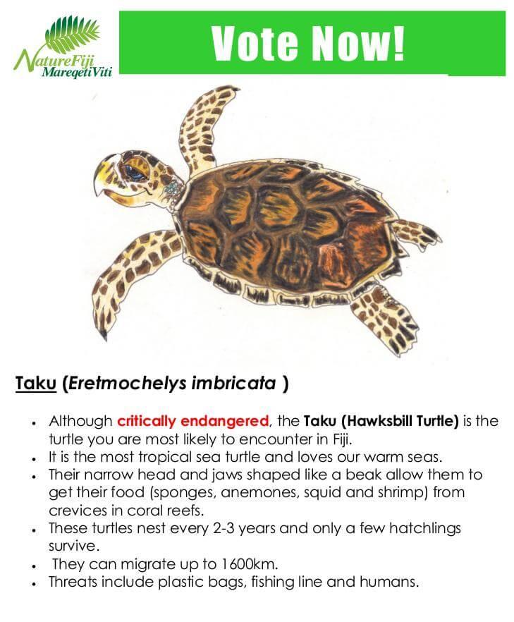 Taku (Eretmochelys imbricata )