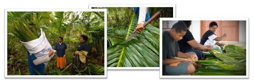 The Culanuku Sago Palm Field is Fiji's first sago palm habitat rehabilitation demonstration site