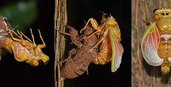 Watch the Emerging Fijian cicada (Nanai), once every 8 years