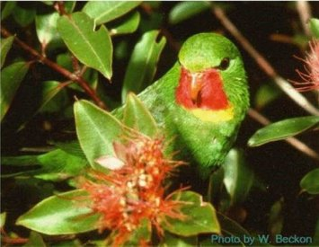 Close-up photo of a Kulawai (Red-throated Lorikeet)