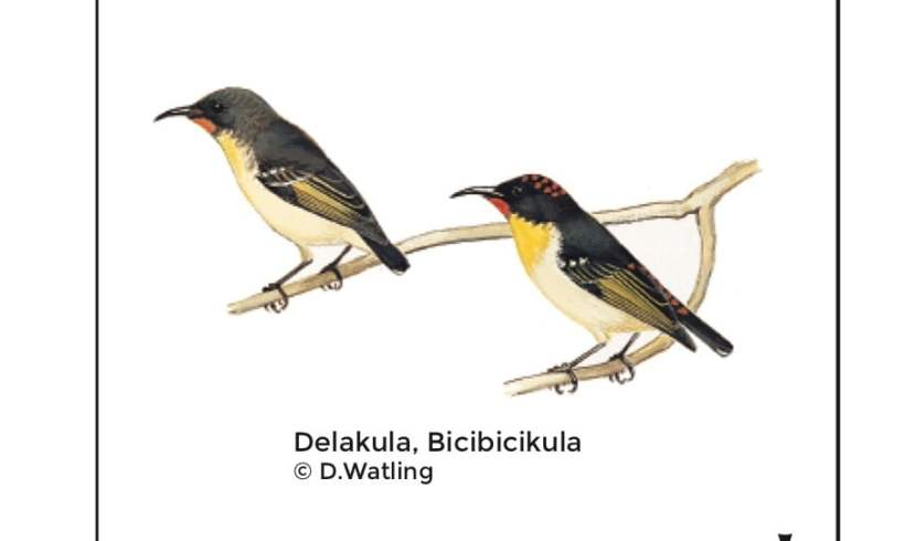 Birds in Fiji's Forests: Delakula
