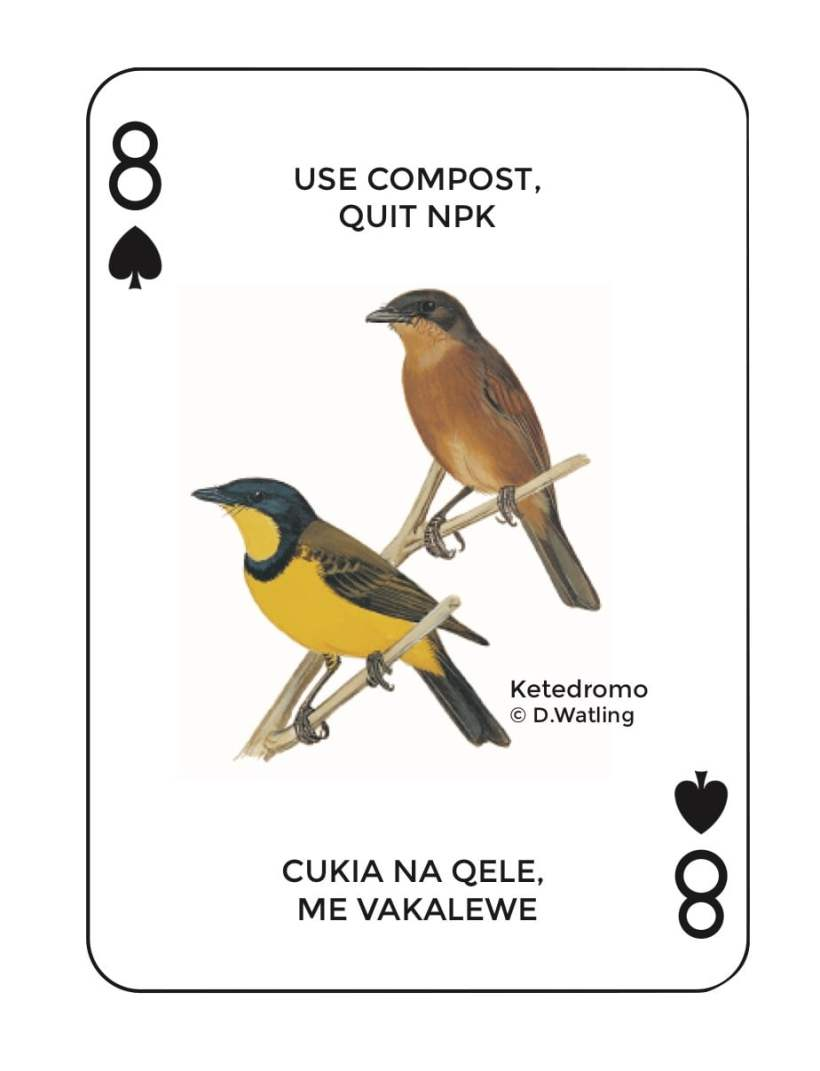 Birds in Fiji's Forests: Ketedromo