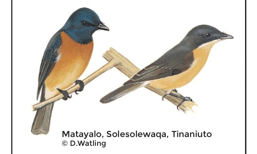 Birds in Fiji's Forests: Matayalo