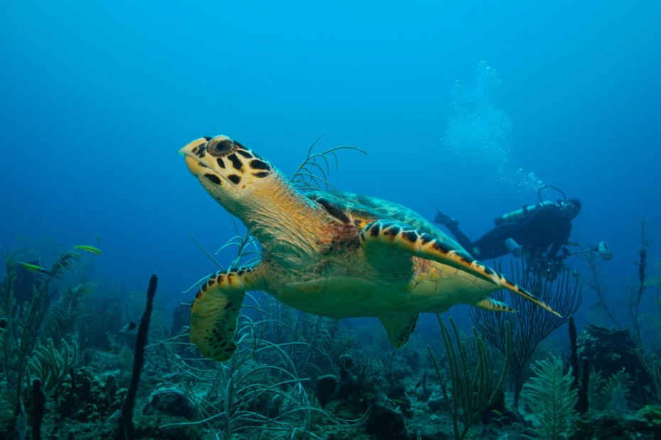 sea turtle and diver