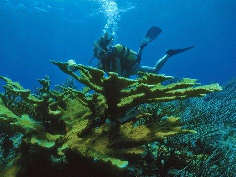 large elkhorn coral