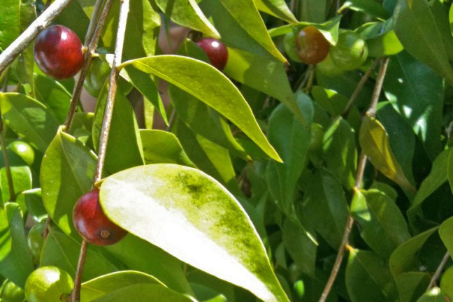 The Guavaberry tree with its red berrys