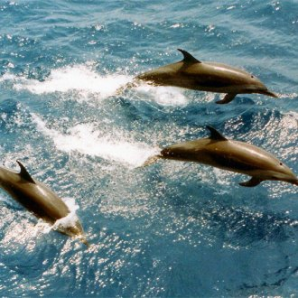 spotted dolphins