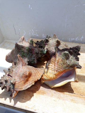 Immature conch harvested