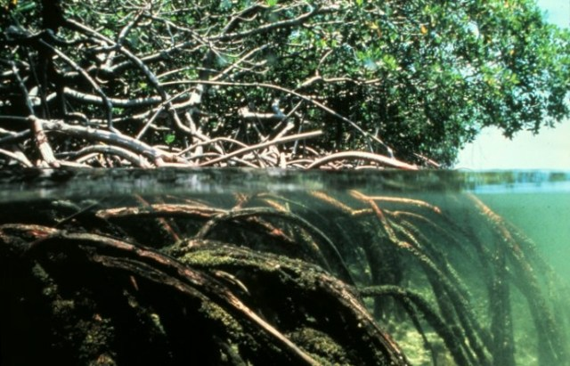 red mangrove root structure