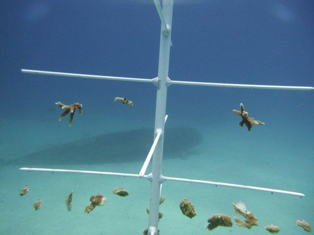 'Acropora' coral fragments