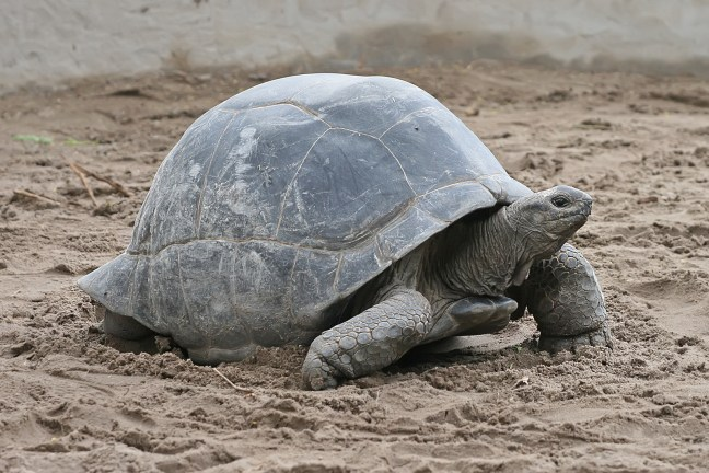 An all grey turtle