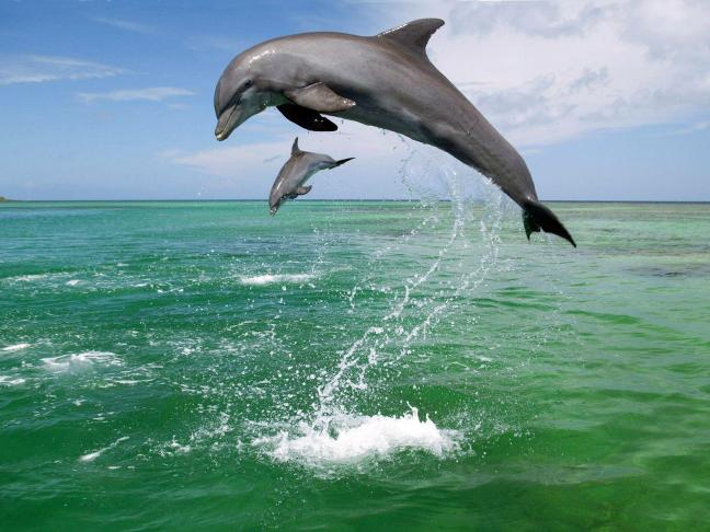 One big and one small dolphin just jumping up. Both grey coloured.