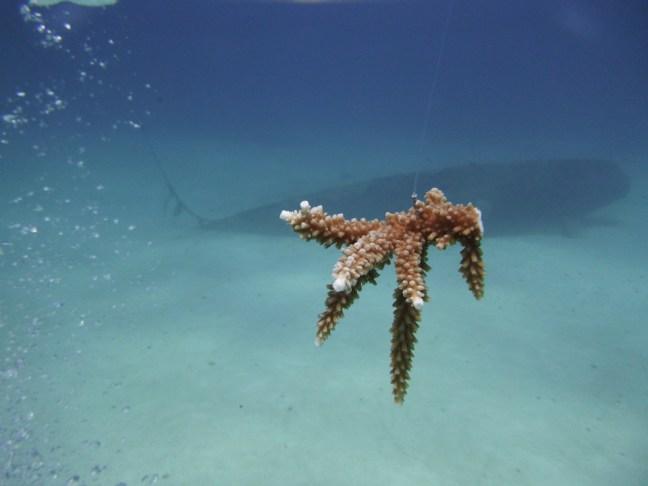 acropora coral fragment