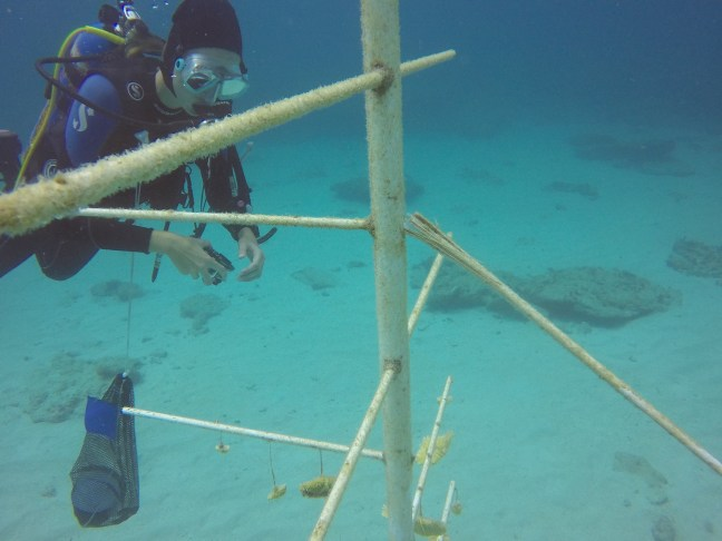 diver near coral nursery