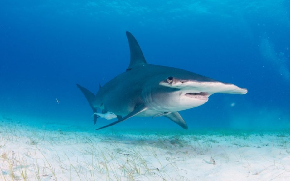 A Shark with the head looking just like a Hammer
