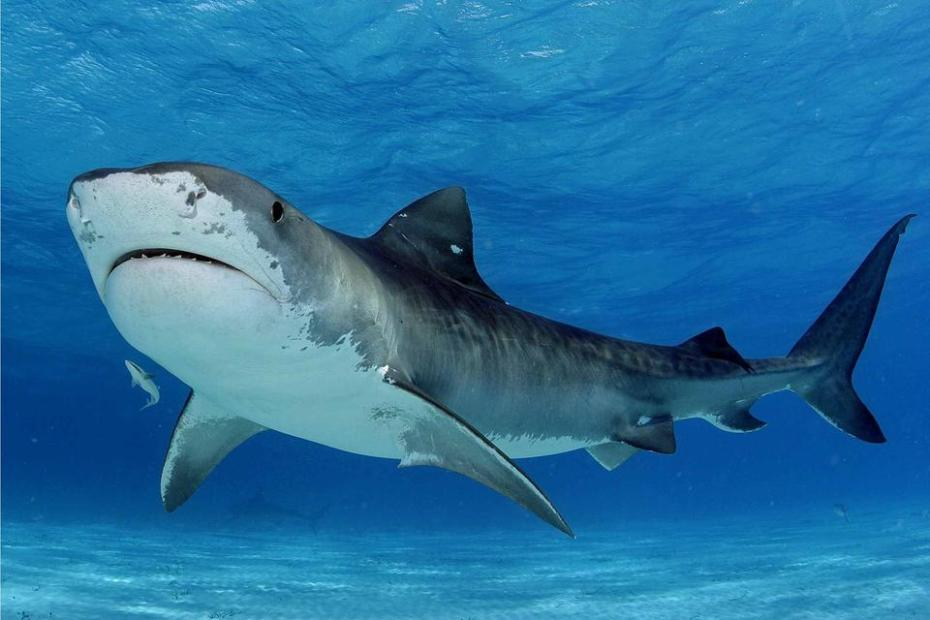 A blue and grey shark. Slightly striped and with more fins