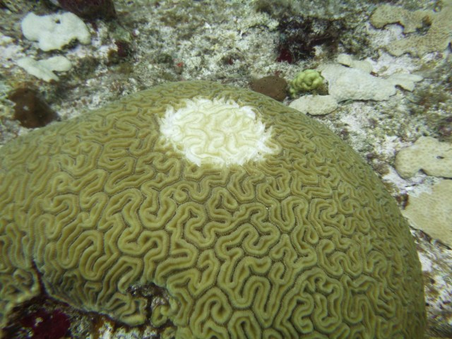 white spot on coral with tissue loss disease